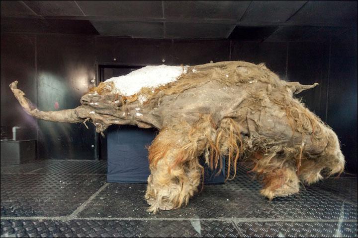 sibirya-onbin-yillik-aslan